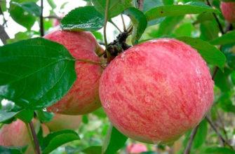 Описание сорта яблок Коричное полосатое