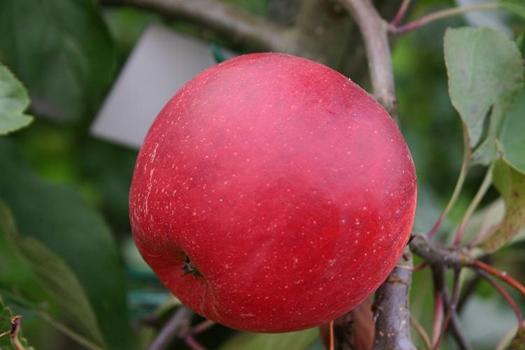 Описание плодов яблони Слава Победителям