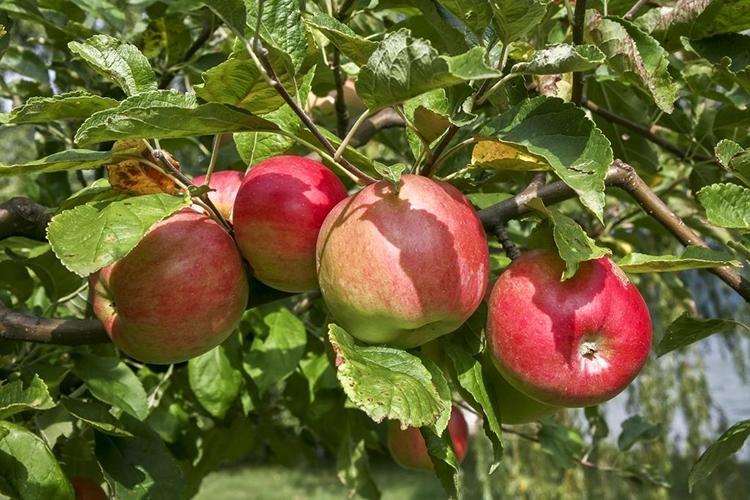 Сорт яблок Жигулевское