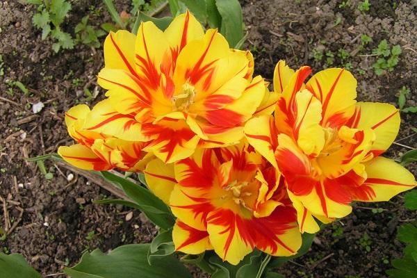 Популярные сорта тюльпанов для вашего сада