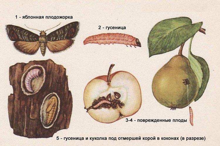Жизненный цикл яблонной плодожорки