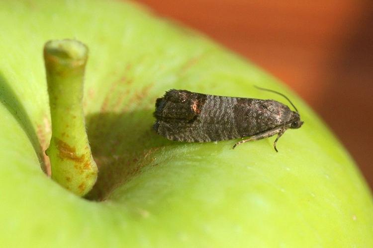 Взрослая особь яблонной плодожорки