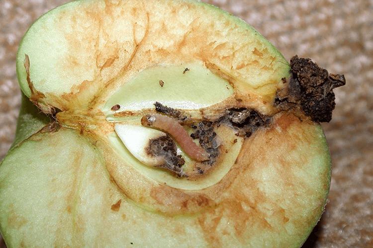 Яблонная плодожорка в яблоке
