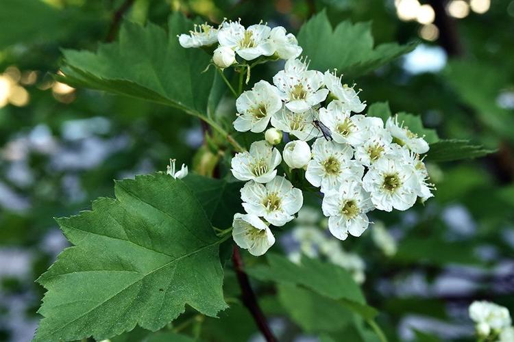 Боярышник крупноплодный - цветение