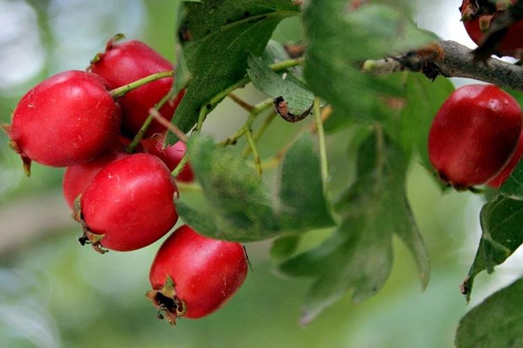 Боярышник крупноплодный - ягоды