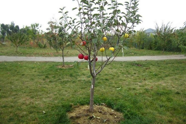 Календарь посадки яблони осенью