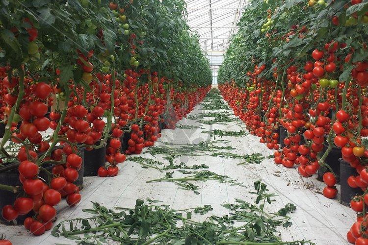 гибриды помидор для теплиц подмосковья