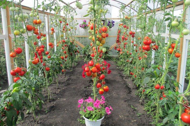 какие томаты лучше выращивать
