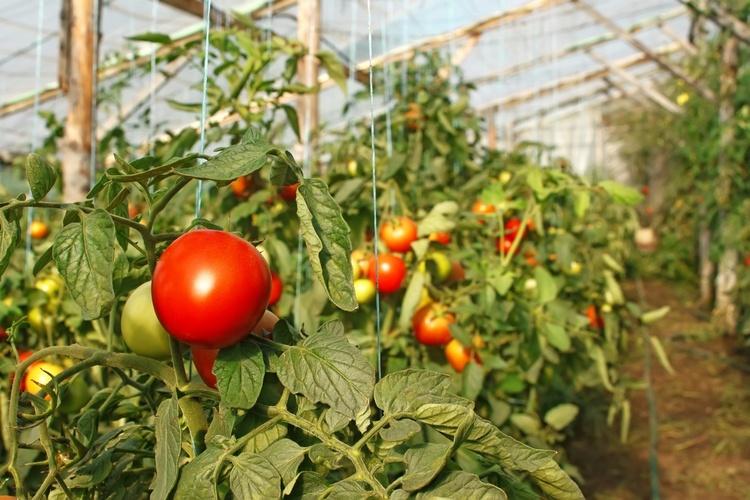 хорошие помидоры