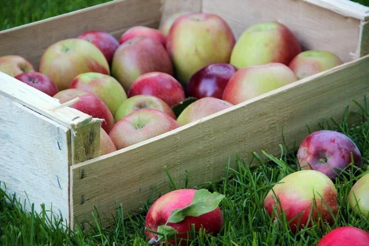 хранение урожая с яблони
