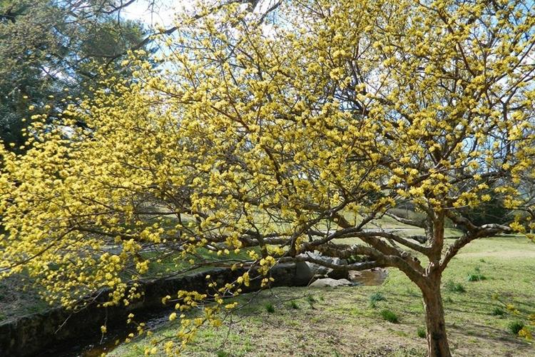 Дерево кизил