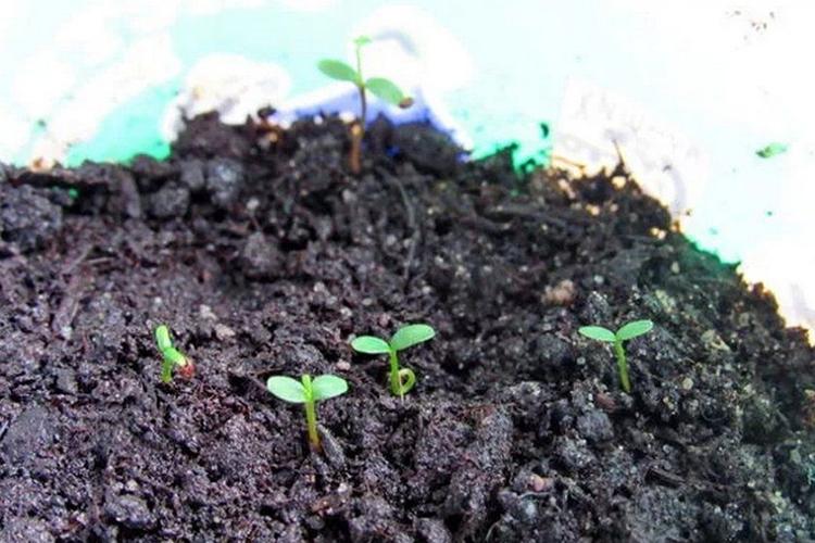 Проросшие семена голубики