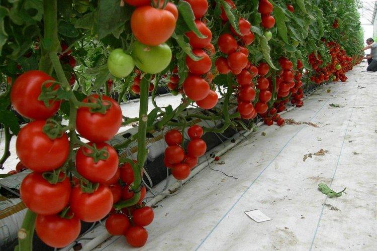 лучшие томаты