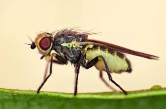Луковая муха: контроль популяции