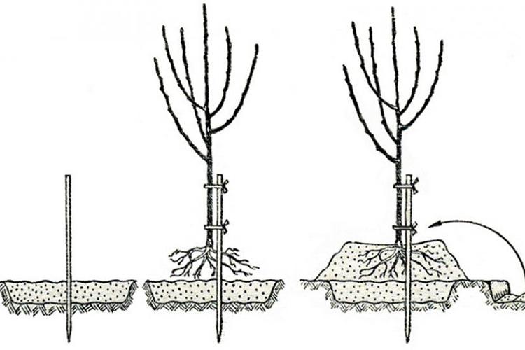 Алгоритм посадки груши