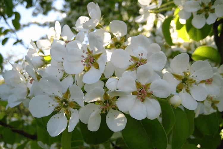 Груша Кафедральная - цветение