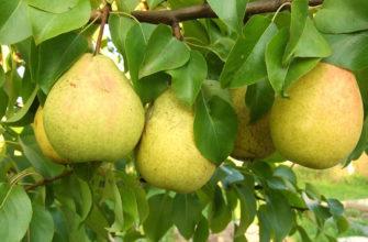 Груша Кафедральная - описание плодов