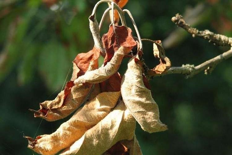 Преждевременное опадание листьев