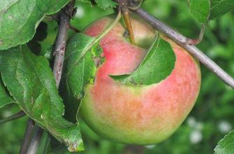 Описание сорта яблок Синап Орловский
