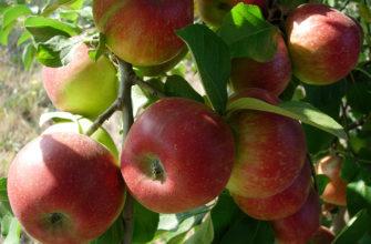Описание сорта яблок Уэлси