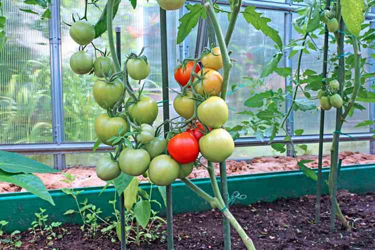 семена томатов для теплиц