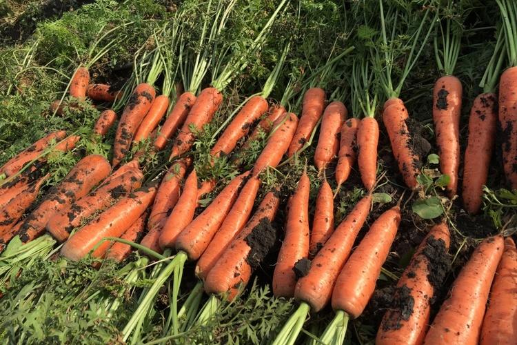 Как хранить морковь: 120 фото, хитрости и рекомендации как в домашних условиях сохранить морковь