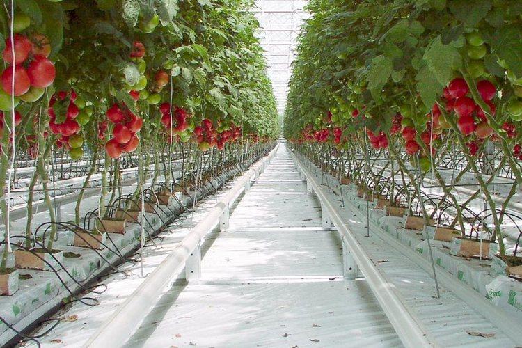 томаты для подмосковья