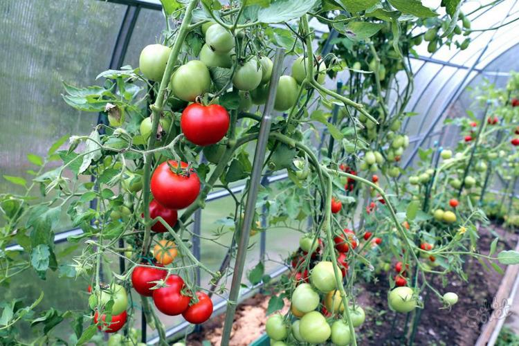 томаты для теплицы из поликарбоната