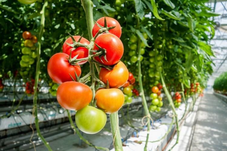 урожайные сорта