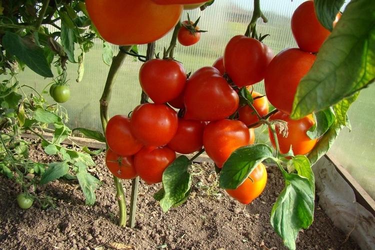 выбор томатов для ЛПХ