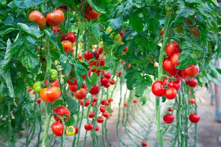 высокоурожайные сорта