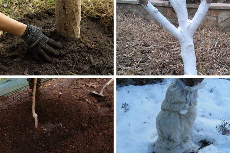 Абрикос Царский - зимовка