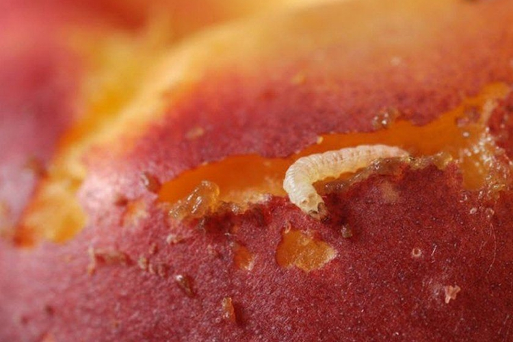 Плодожорка в абрикосе