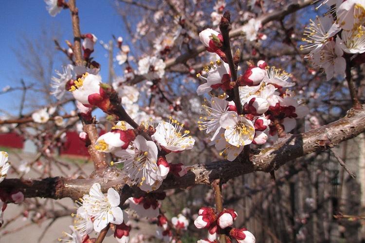 Абрикос Царский цветет