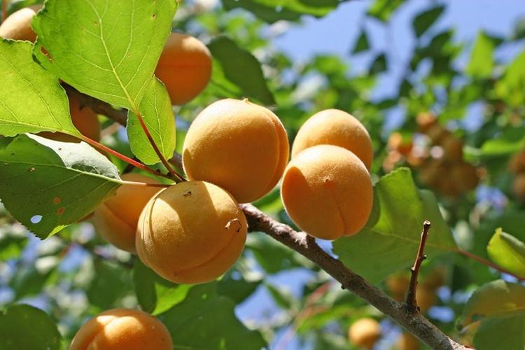 Абрикос Царский - плоды