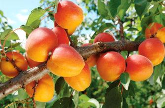 Описание сорта абрикоса Триумф Cеверный