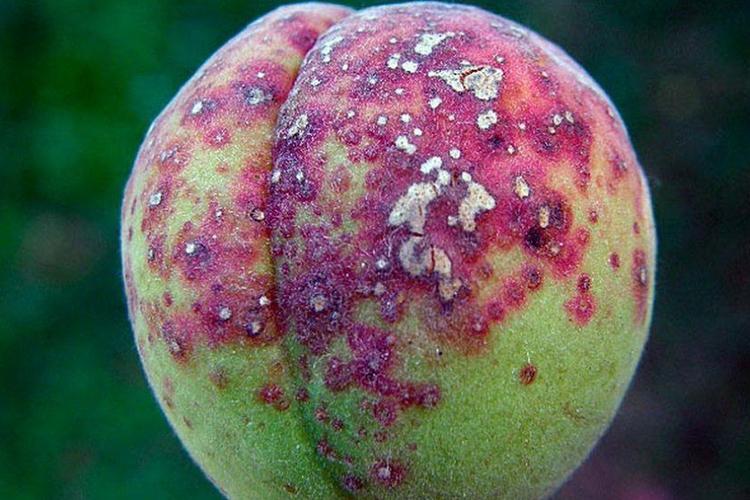 Клестероспориоз на абрикосе