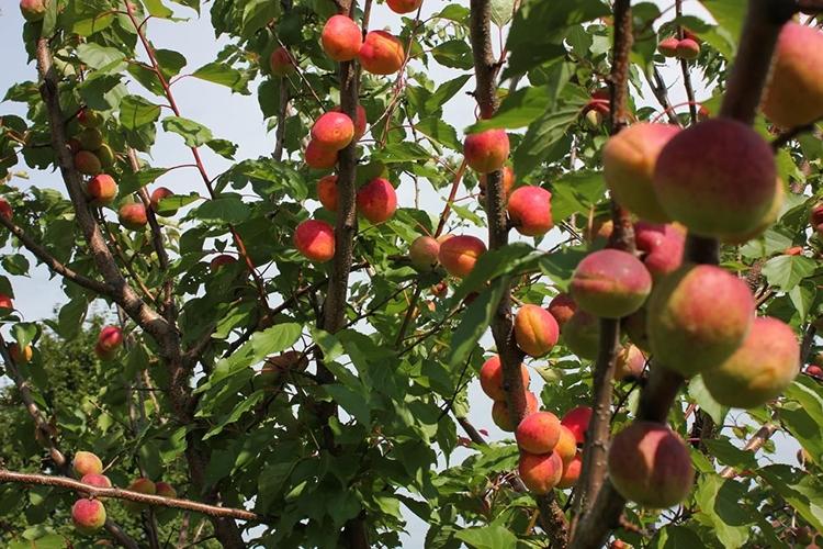 Абрикос Триумф Cеверный - дерево