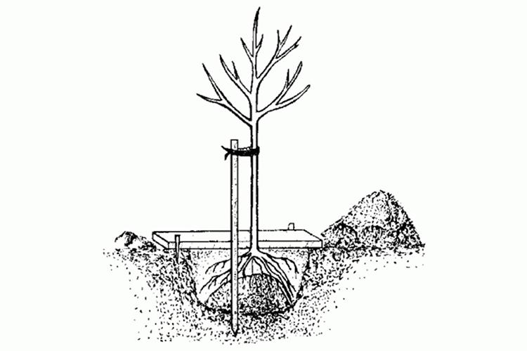 Абрикос Триумф Cеверный - алгоритм посадки