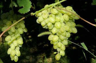 Виноград Августин - характеристики