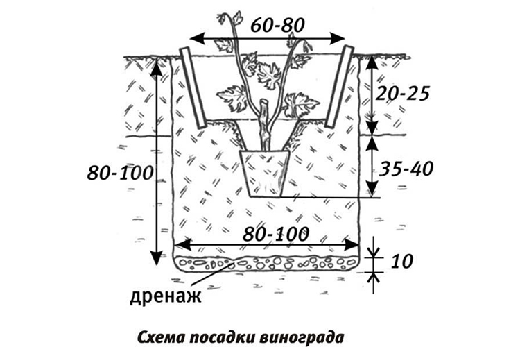 Виноград Рошфор - алгоритм посадки