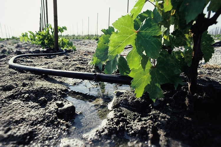 Виноград Рошфор - полив