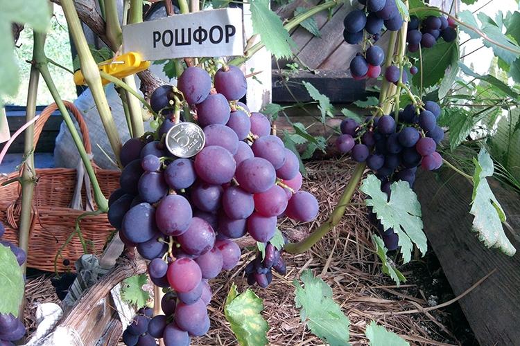 Виноград Рошфор - описание