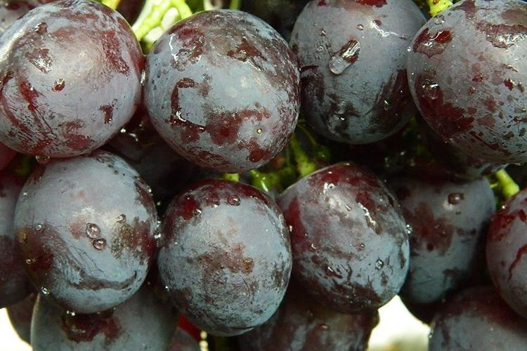 Виноград Рошфор - плоды