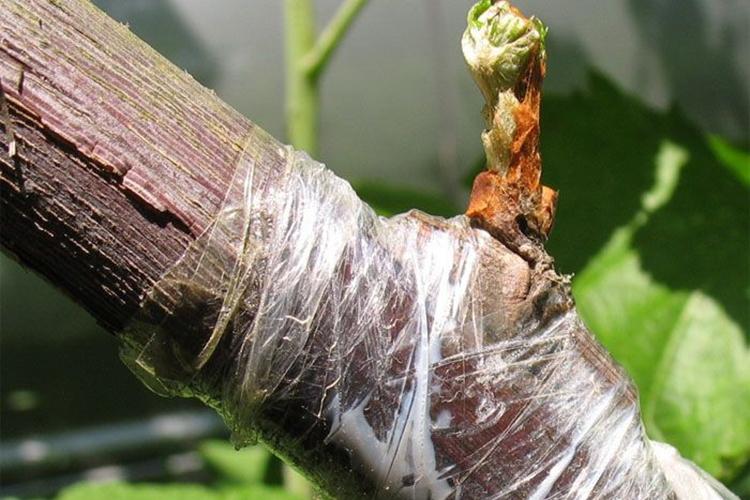 Виноград Супер-Экстра - размножение прививками