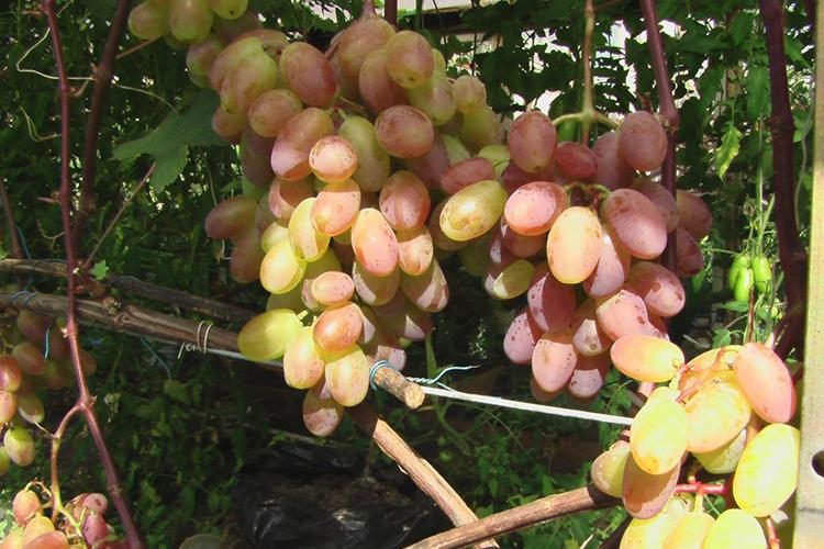 Виноград Юбилей Новочеркасска - ягоды