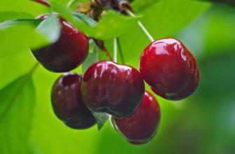 Описание сорта вишни Харитоновская