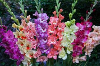 Популярные сорта гладиолусов для сада