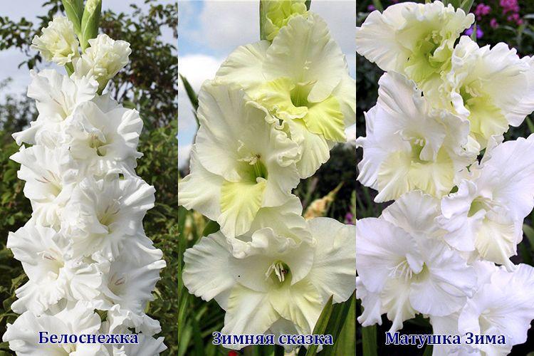 Сорта белых гладиолусов