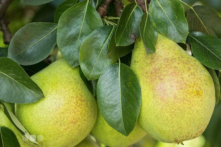 Груша Саратовка - плоды